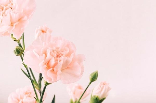 Quà tặng mẹ - Hoa cẩm chướng